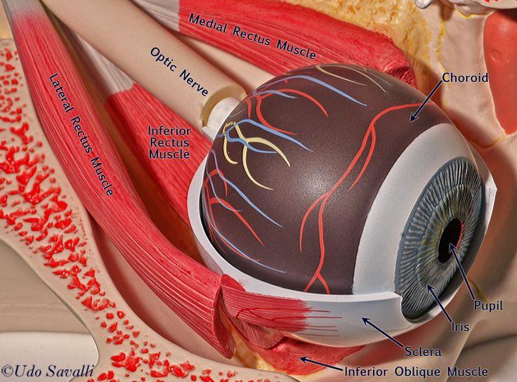 eye anatomy and physiology pdf